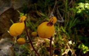 flor de montaña